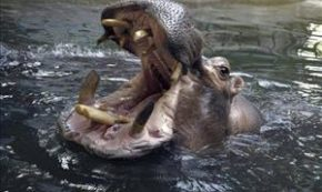 Man Swallowed by Hippo Survives to Tell His Story