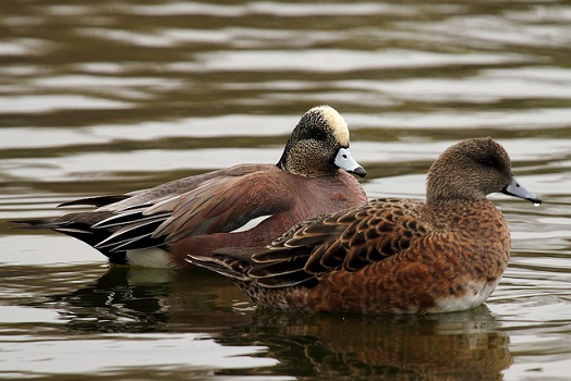 american wigeons by mr t in dc resized 5614642191_52947cea9d_z