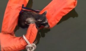 Boaters Mount Rescue Operation to Save a Little Raccoon Who Fell Overboard