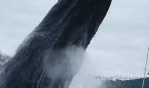 This Kayaker's Crazy Close-Up Footage Of A Breaching Humpback Whale Made Us Jump