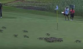Invasion of the Mongooses on the Golf Green