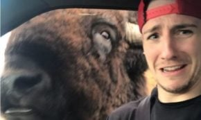 Sexy gay Nature Lover has Hilariously Close Call with Buffalo