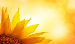 Sunflower: Rebirth and Renewal