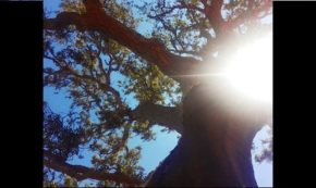 Oak Eye View
