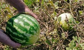 How A Watermelon Taught Me To Love