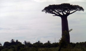 Baobabs, Reggae, and Stormy Waters