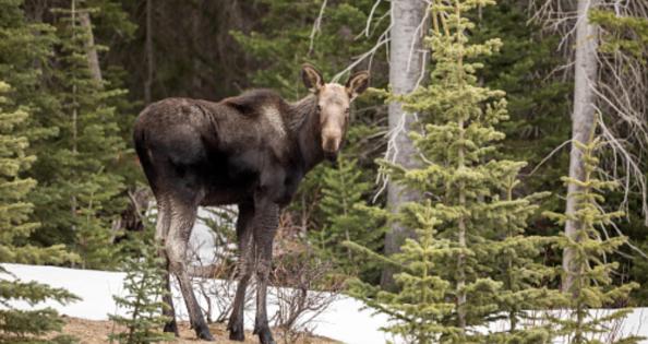 The Magic Moose Wand