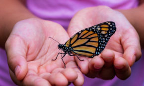 Monarch Butterfly Flutters on the Edge of Extinction