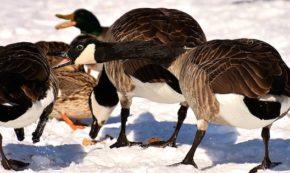 What Canada Geese Can Teach Donald Trump
