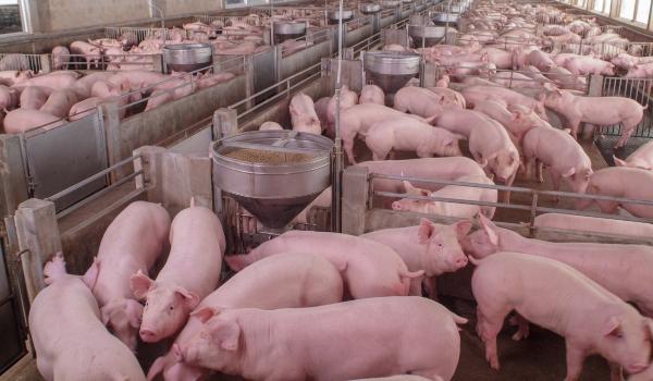 Porklife: Building a Better Pig