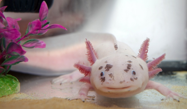 Consider the Axolotl: Our Great Hope of Regeneration?