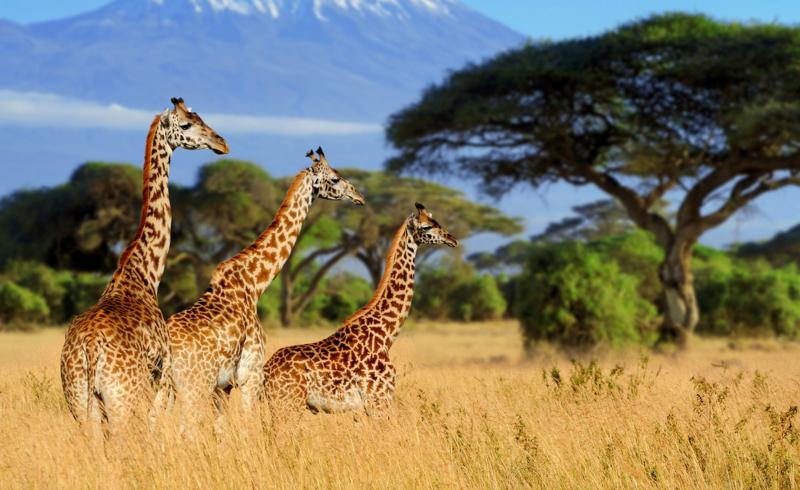 Female Giraffes With More Friends Live Longer
